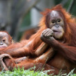 Stock Photo: Orangut- Mother and child