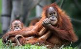 Orang-oetan - moeder en kind — Stockfoto