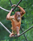 Young male Orangutan — Stock Photo