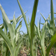 Green Growth Of Corn Rows — Stock Photo