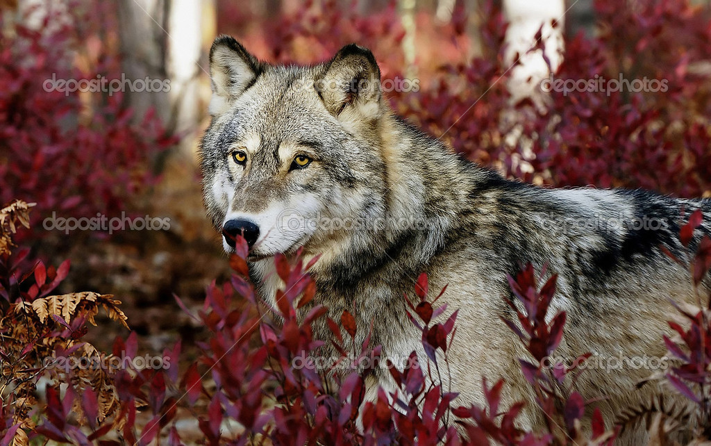 Grey wolf in red leaves — Stock Photo #10855320