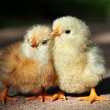 Two lovely chickens — Stock Photo