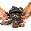 Basset Hound Dog Aviator — Stock Photo