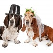 Royalty-Free Stock Photo: Basset Hound Bride and Groom