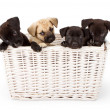 Four puppies in a basket — Stock Photo