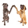 Great Dane and Mastiff Dogs Shaking Hands — Stock Photo #10969503
