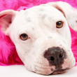 Young White Pit Bull With Pink Boa — Stock Photo