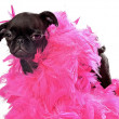 Stock Photo: Black Pug Puppy with Pink Boa