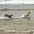 Two dogs running in the ocean water — Stock Photo