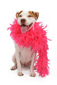 An American Staffordshire Terrier wearing a pink boa — Stock Photo