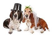Basset Hound Bride and Groom — Stock Photo