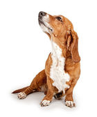 Basset Hound Dog Ignoring Commands — Stock Photo