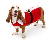 Basser Hound Dog Wearing a Santa Suit — Stock Photo