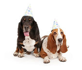 Basset Hound Dogs Wearing Birthday Hats — Stock Photo