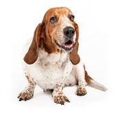 Basset Hound Dog Isolated on White — Stock Photo