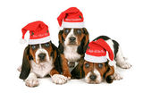 Basset Hound Puppies Wearing Santa Hats — Stock Photo