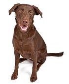 A Chocolate Labrador Retriever Dog Isolated on White — Stock Photo