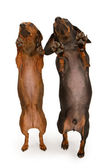Two Dachshund Dogs Dancing — Stock Photo