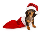 Dachshund Puppy in a Stocking with a Santa Hat — Stock Photo