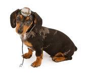 Cachorro de perro salchicha aislado en blanco — Foto de Stock