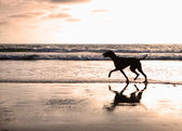Silhouette of dog on beach at sunset — Stock Photo