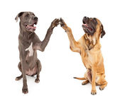 Great Dane and Mastiff Dogs Shaking Hands — Stock Photo
