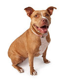 Friendly Pit Bull — Stock Photo