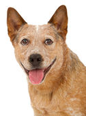 Queensland Heeler Dog Close-Up — Stock Photo