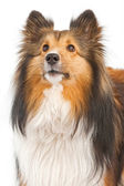 Close-up of Shetland Sheepdog Dog Isolated on White — Stock Photo