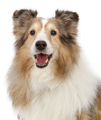Shetland Sheepdog Closeup Dog Isolated on White — Stock Photo