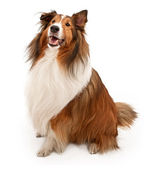 Shetland sheepdog isolé sur blanc — Photo