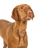 Vizsla Dog Close-Up With Lip Curled — Stock Photo