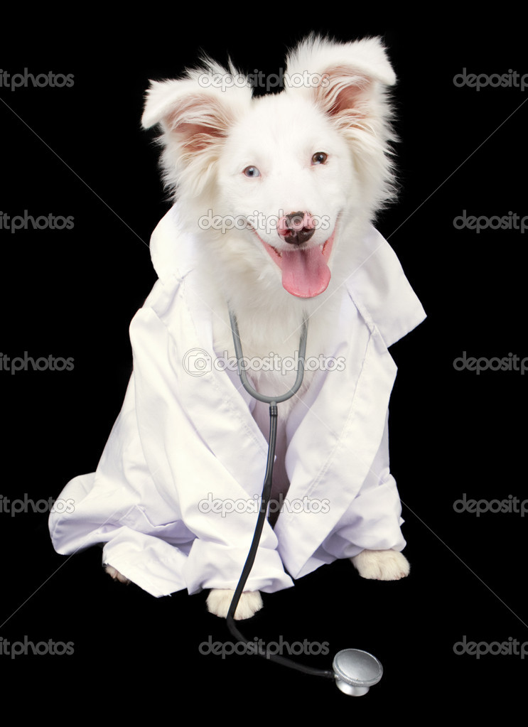 A white Australian Shepherd puppy dressed as a veterinarian  Stock Photo #10969092