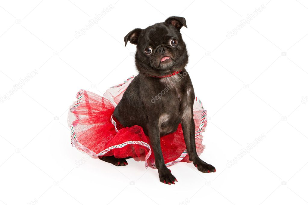 A young Black Pug dog isolated on white wearing a red Christmas tutu and collar with jewels — Stock Photo #10969228