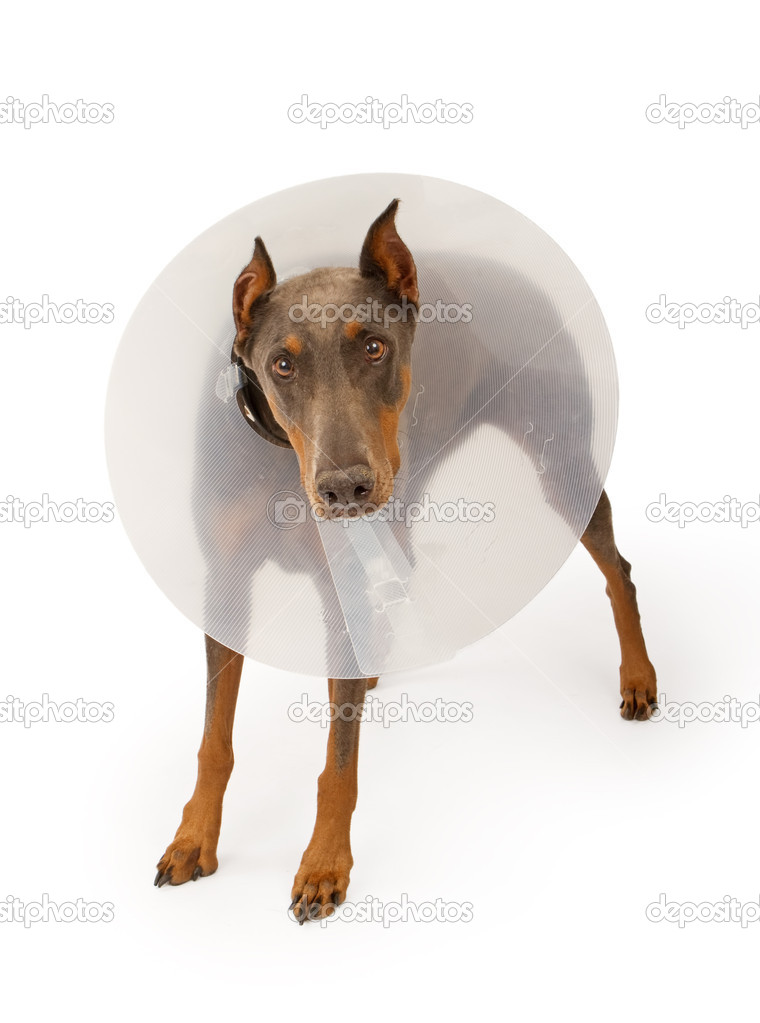 A blue Doberman Pinscher dog wearing a cone due to an injury. Isolated on white — Stock Photo #10969451