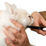 Постер, плакат: Grooming a Chihuahua Dog