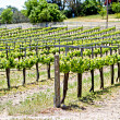 Stock Photo: Vineyard with rows of young plants