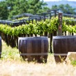Stock Photo: A vineyard with oak barrels