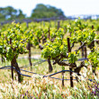 Stock Photo: Vineyard with young plants