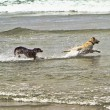 Stock Photo: Two dogs running in the ocean water