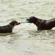 Two dogs playing tug-o-war in the ocean — Stock Photo