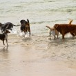 ������, ������: Six dogs of different breeds playing in the ocean