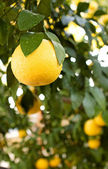 Grapefruits Hanging From a Tree — Stock Photo
