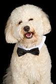 Labradoodle pies noszenie muszka — Zdjęcie stockowe