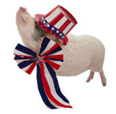 Pig Dressed for Fourth of July — Stock Photo
