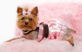 Yorkshire Terrier Dog on a Luxury Pink Bed — Stock Photo