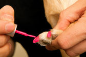 Painitng dogs nails — Stock Photo