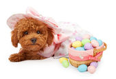 Poodle Puppy in an Easter Dress with Basket of Eggs — Stock Photo