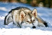 Siberian Husky Dog Laying In Snow — Stock Photo