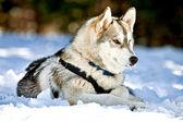 Siberian husky hunden i snön — ストック写真